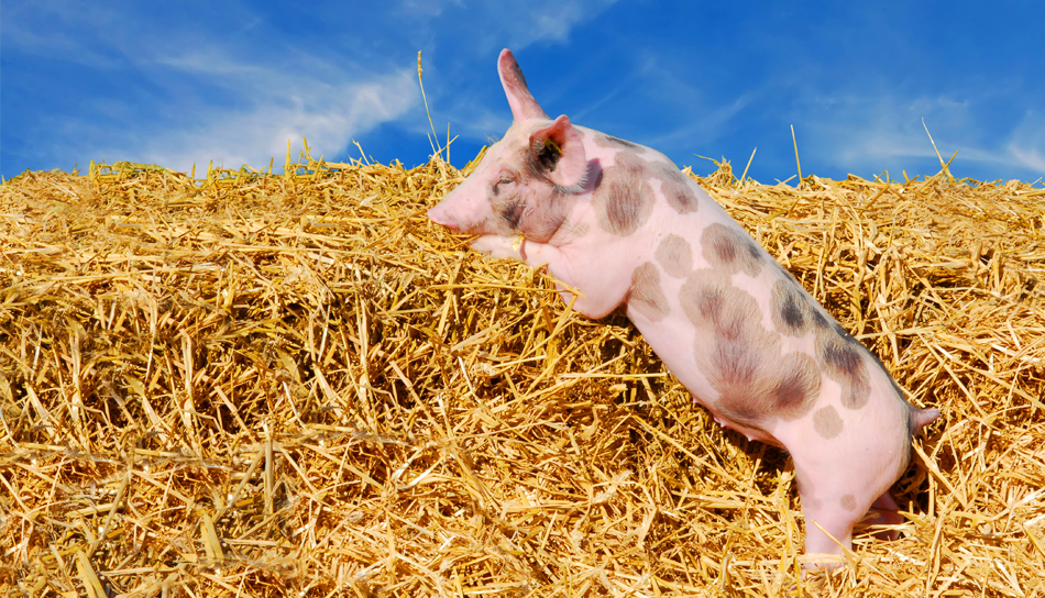 Pantelić doo Kraljevo predsmeše, smeše i dopunske smeše za prasad, tovne svinje i krmače