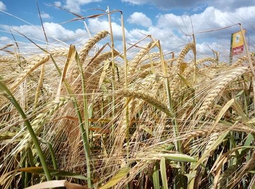 Kako uspevaju pšenica, kukuruz, tritikala i ječmeni BC hibridi u Sremu