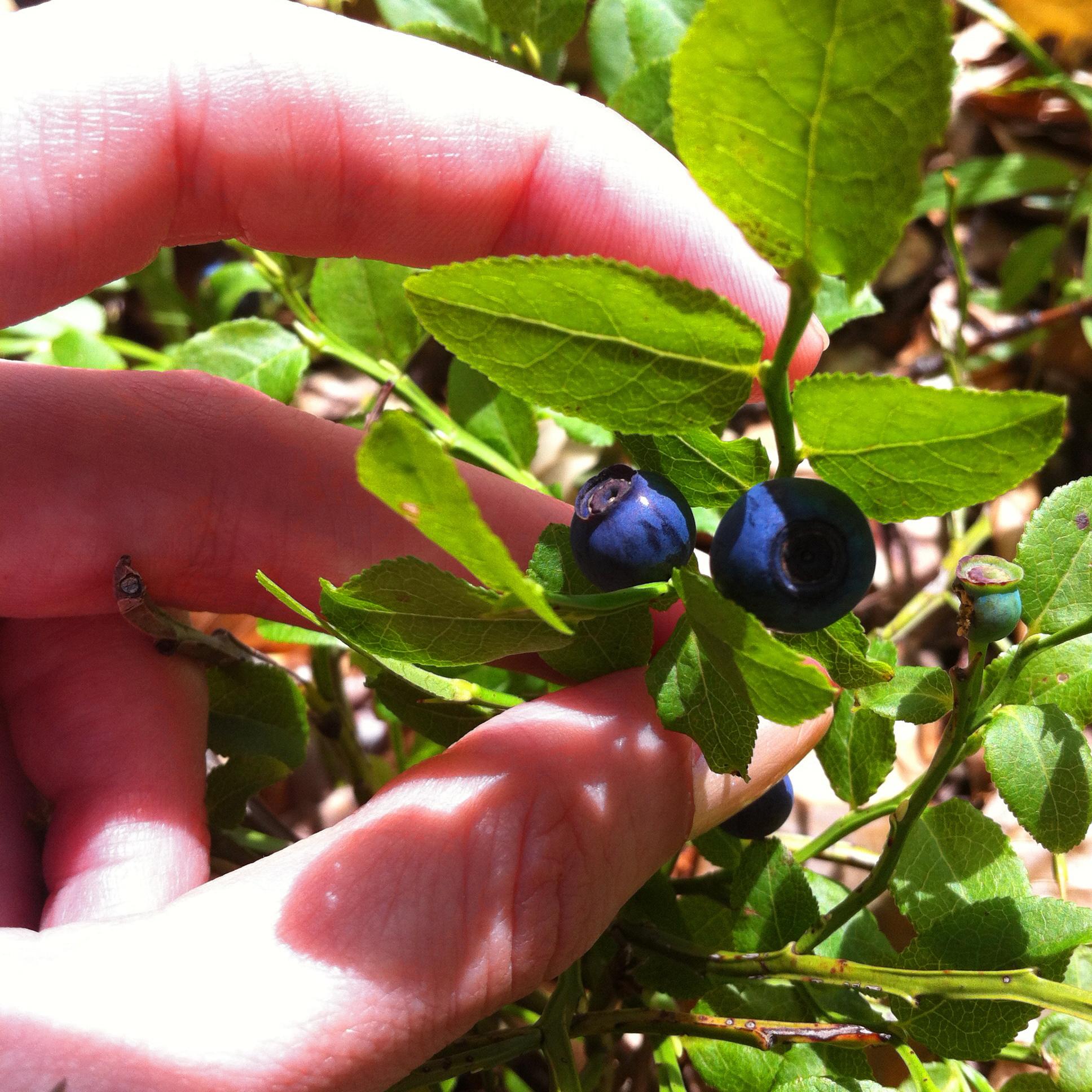 Ekopromet doo divlje borovnice, blueberries