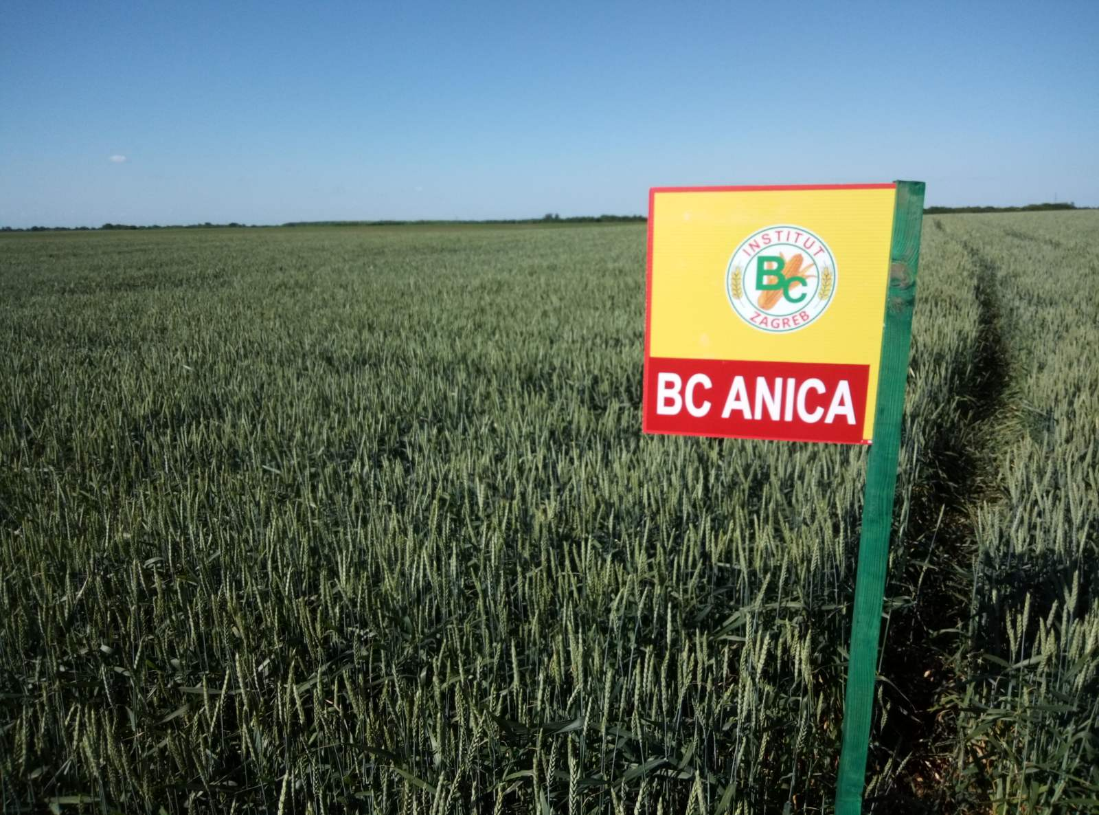 psenica-bc-anica