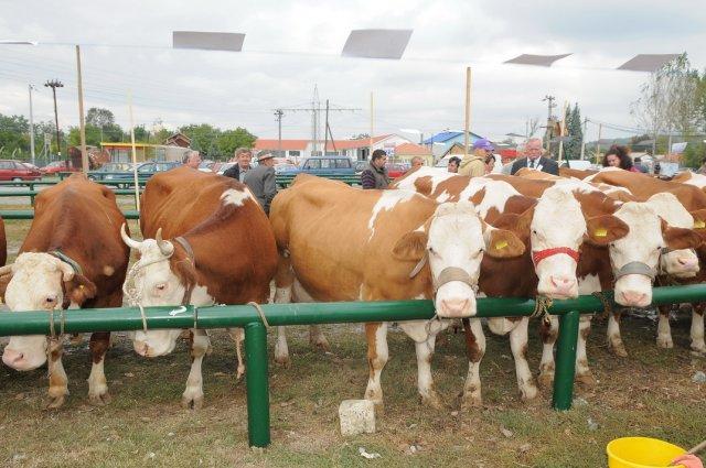 Agrarni Fond Petrovac na Mlavi Izložba priplodnih krava i junica