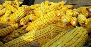 Farmavit doo komponente za stočnu hranu kukuruz