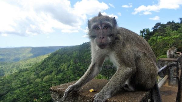 makaki_monkey_black_river_gorges_national_park_mauritius_photo_by_ira_petrov