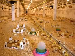 Farmavit doo Farma tovnih pilića