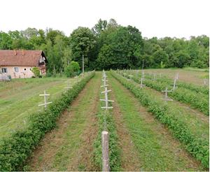 plantaze_malina_srednji_dragaljevac_dule_agrar