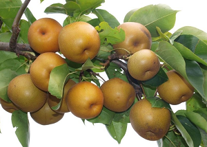 plodovi_japanske_kruske_rasadnik_gegic