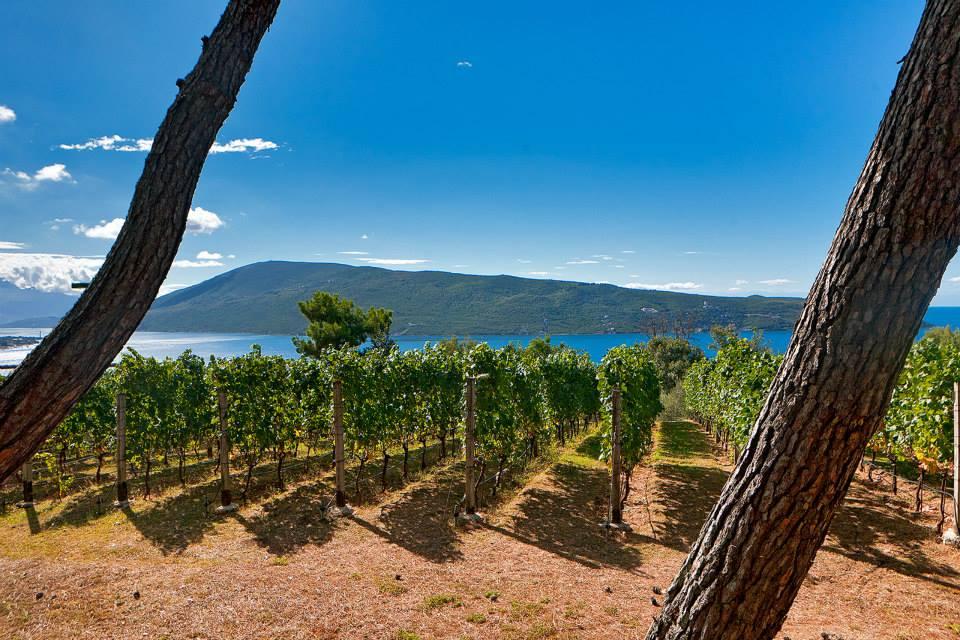 vinogradi_vinarija_castel_savina