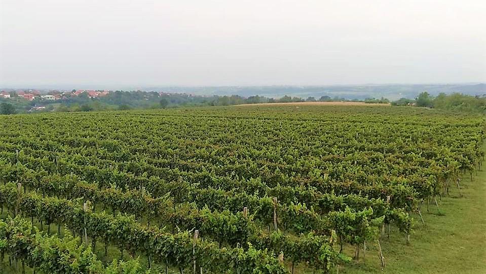 vinogradi_vinarija_pantic