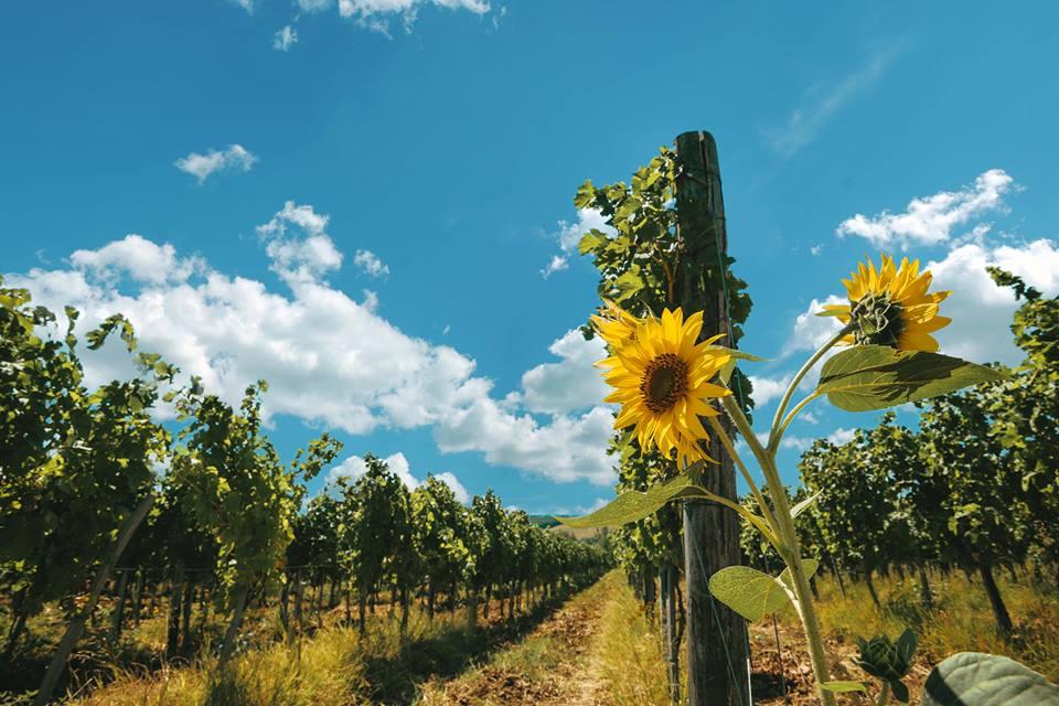 vinogradi_vinarija_virtus_pozarevacko_vinogorje