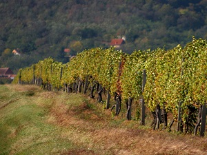 vrsacki_vinogradi_vinarija_vinik